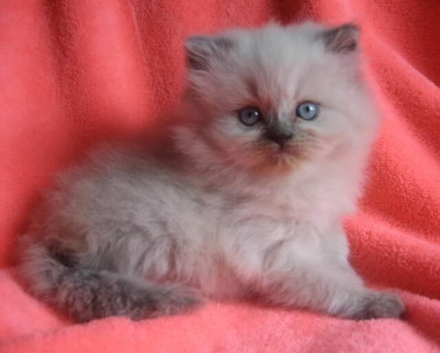 persian kittens in ct